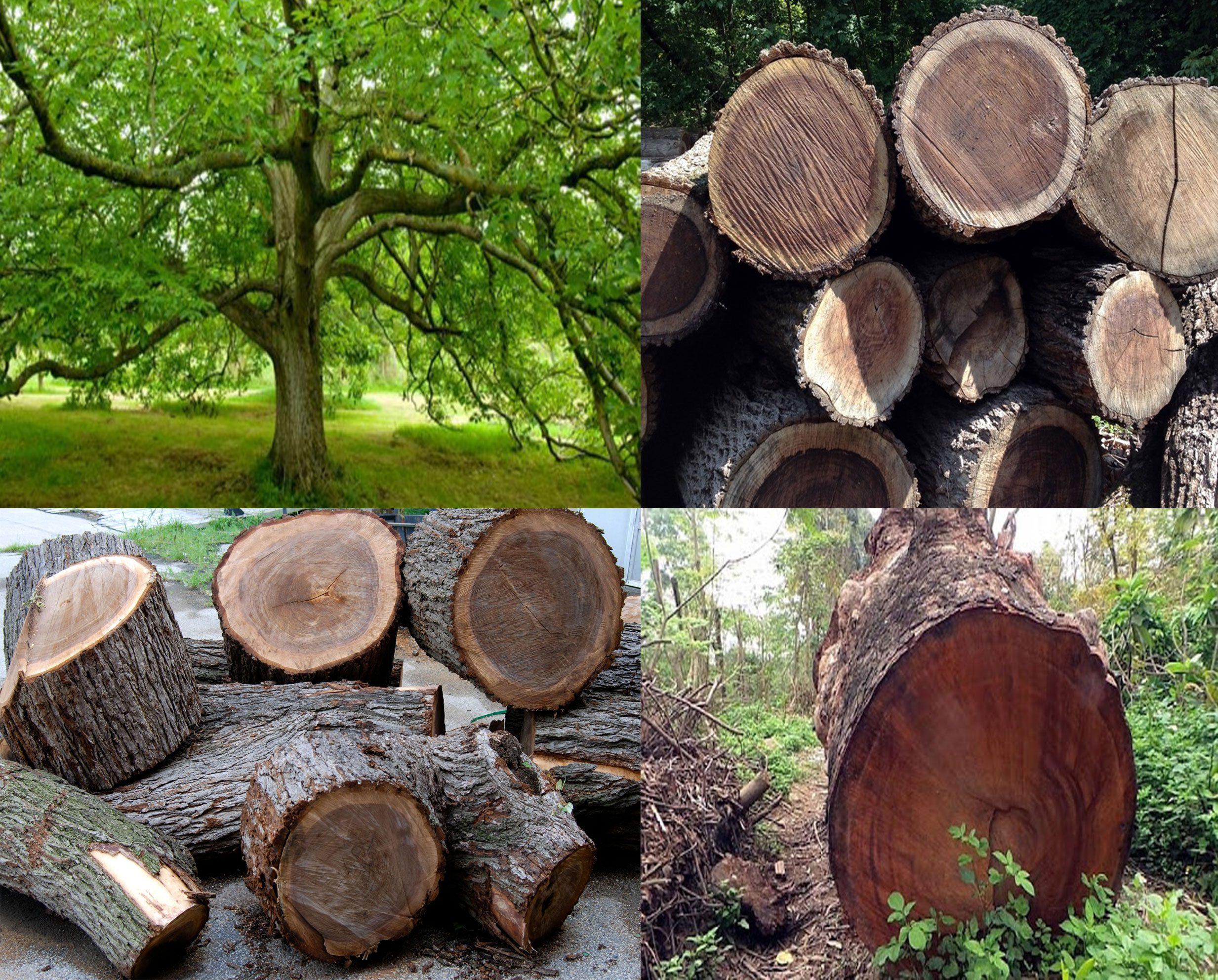 Tủ bếp gỗ ÓC Chó được làm từ gỗ tự nhiên không qua xử lý hóa chất