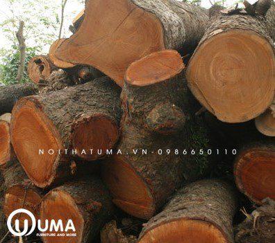Tìm hiểu gỗ xà cừ là gì? Gỗ xà cừ thuộc nhóm mấy?