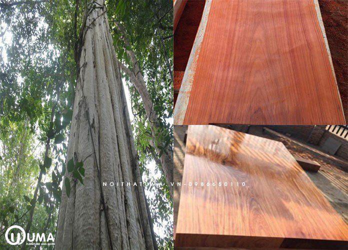 Đây là một loại gỗ quý có tên gọi khác là cà te, hổ bì