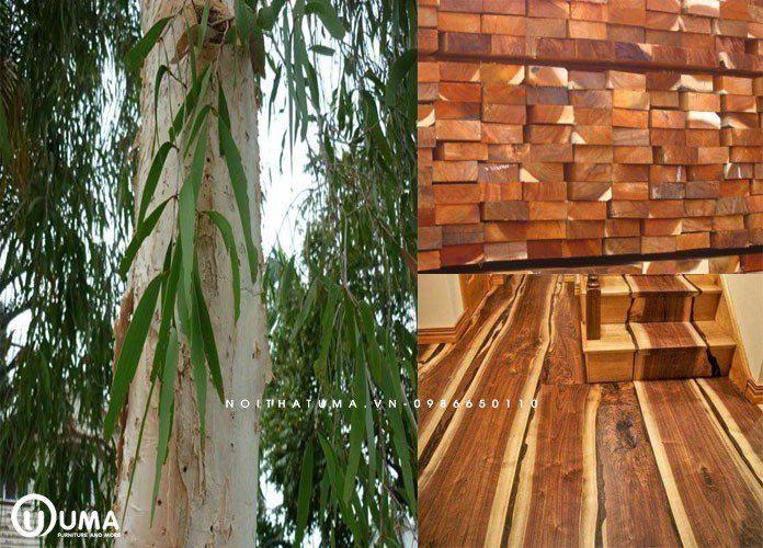 Gỗ tràm có tên gọi khoa học là Acacia auriculiformis thuộc cây chi keo Acacia